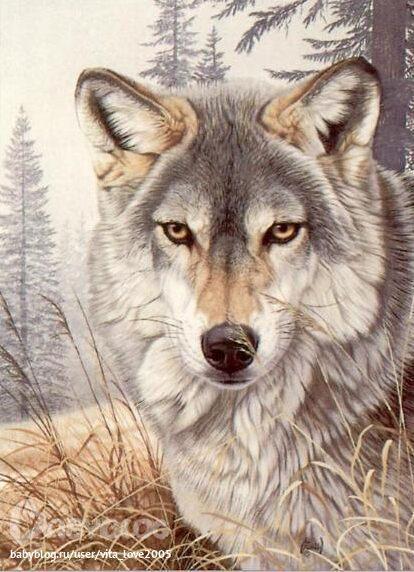 Волки и дикие кошки.  Часть 4.